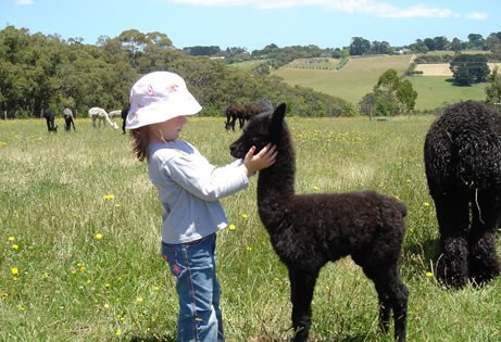 mornington-peninsula-hinterland-shopping-pitchingga-ridge-alpacas